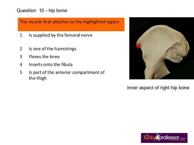 The muscle that attaches to the highlighted region 1 Is supplied by the femoral nerve 2 Is one of the hamstrings 3 Flexes ...