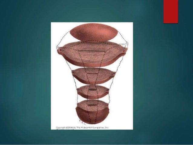 Anatomia y fisiologia aparato genital femenino