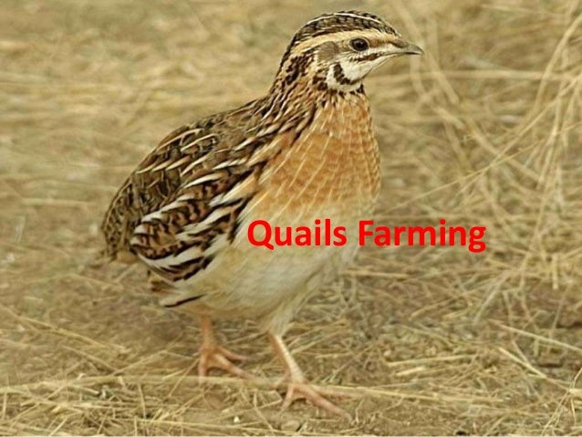 Quails Farming