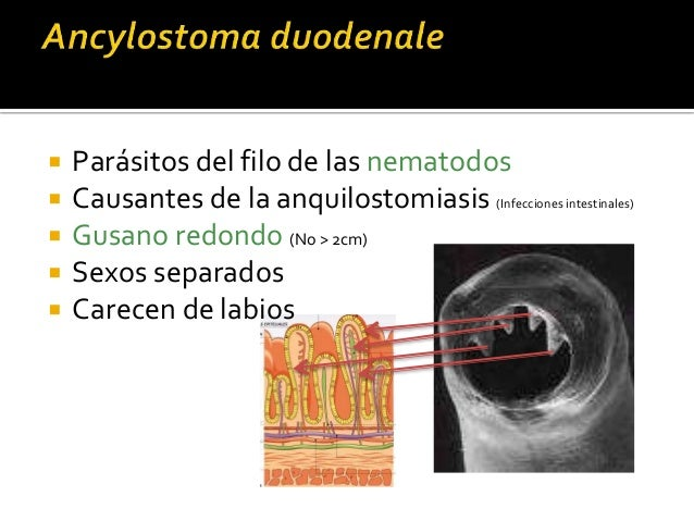venas > corazón> pulmones> alveolos> árbol respiratorio> deglutidos al S. digestivo > I. delgado- adultos Larvas penetran ...