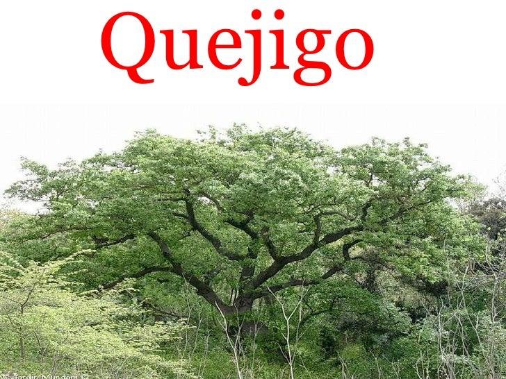 Quejigo