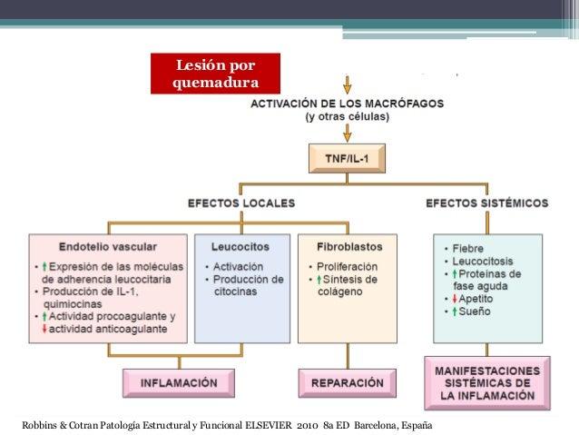 Lesión por quemadura Robbins & Cotran Patología Estructural y Funcional ELSEVIER 2010 8a ED Barcelona, España
