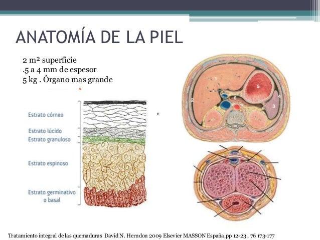 ANATOMÍA DE LA PIEL 2 m² superficie .5 a 4 mm de espesor 5 kg . Órgano mas grande Tratamiento integral de las quemaduras D...