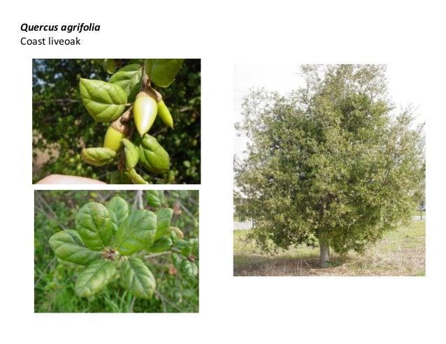 Quercus agrifolia Coast liveoak