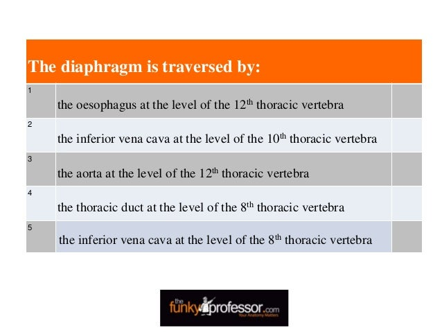 The diaphragm is traversed by: 1 the oesophagus at the level of the 12th thoracic vertebra 2 the inferior vena cava at the...