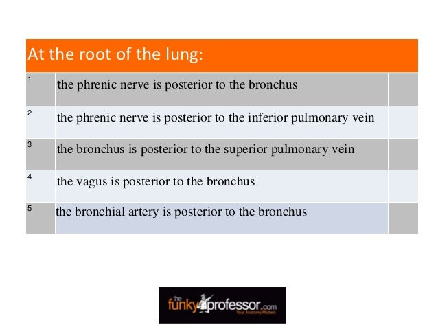 At the root of the lung: 1 the phrenic nerve is posterior to the bronchus 2 the phrenic nerve is posterior to the inferior...