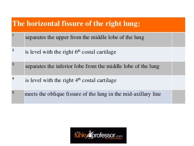 The horizontal fissure of the right lung: 1 separates the upper from the middle lobe of the lung 2 is level with the right...