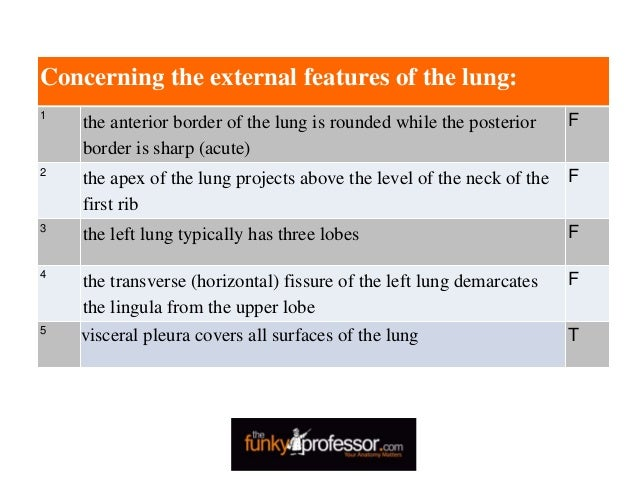 Concerning the external features of the lung: 1 the anterior border of the lung is rounded while the posterior border is s...