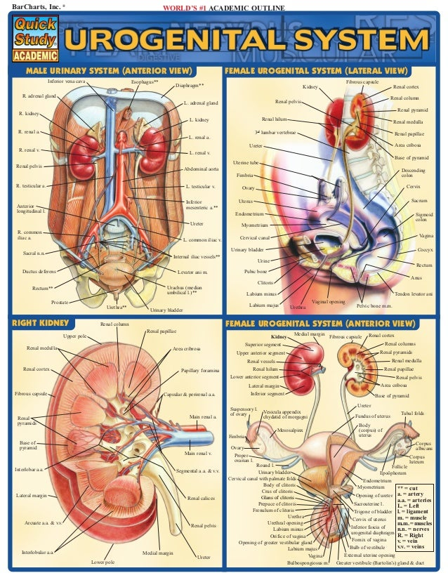 BarCharts, Inc. ®                                                        WORLD'S #1 ACADEMIC OUTLINE      MALE URINARY SYS...