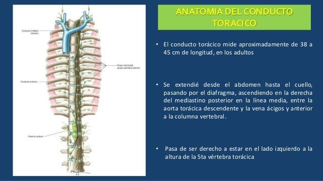ANATOMIA DEL CONDUCTO TORACICO • El conducto torácico mide aproximadamente de 38 a 45 cm de longitud, en los adultos • Se ...
