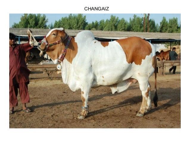 CHANGAIZ