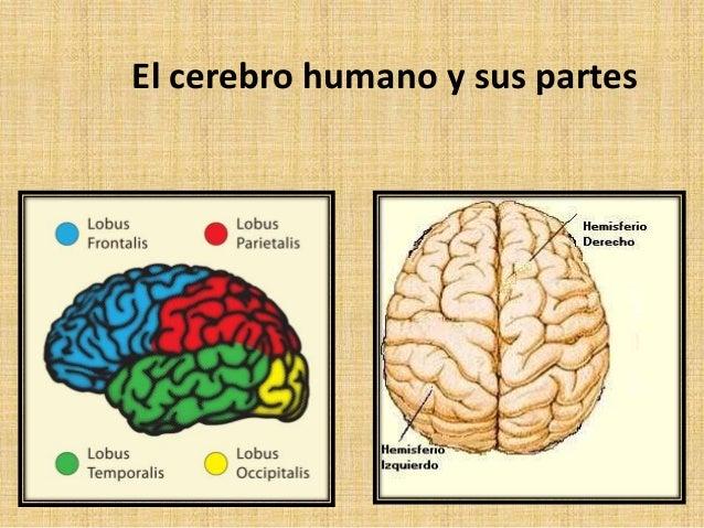 Qué Sabes De Tu Cerebro Andrei Dan
