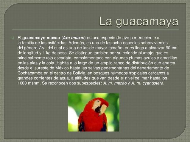  La guacamaya roja puede adaptarse a una amplia variedad de alimentos para su dieta, aunque es predominantemente granívor...