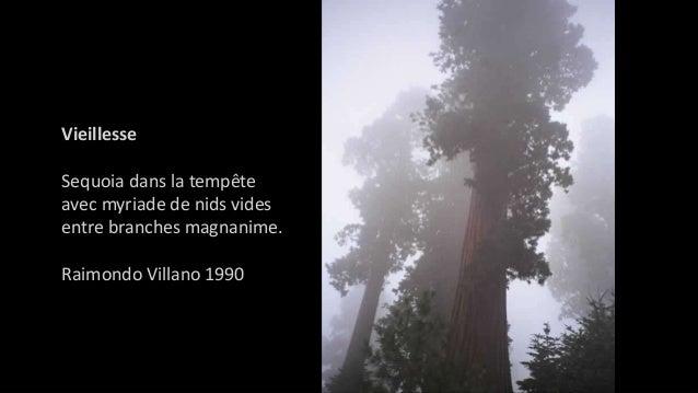 Vieillesse Sequoia dans la tempête avec myriade de nids vides entre branches magnanime. Raimondo Villano 1990