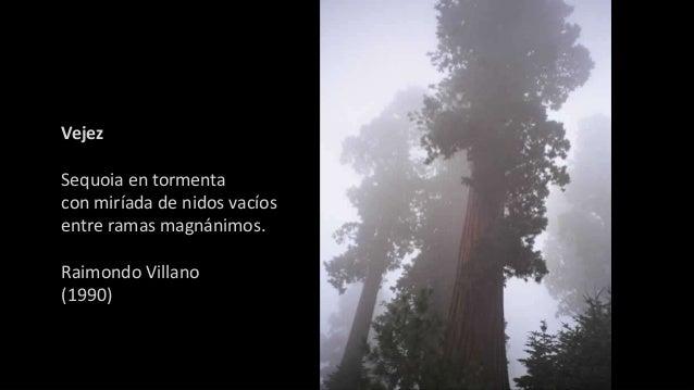 Vejez Sequoia en tormenta con miríada de nidos vacíos entre ramas magnánimos. Raimondo Villano (1990)