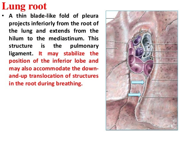 anatomy of the respiratory system 6
