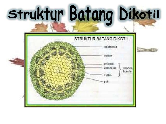Perbedaan Struktur Anatomi Batang Dan Akar
