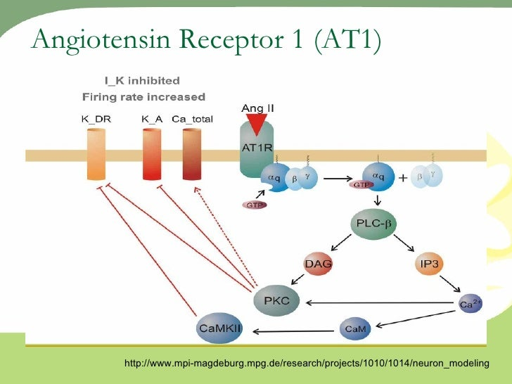 the regulation of kainate receptor action Read kainate receptors in the hippocampus in different cell types and through either metabotropic or ionotropic actions metabotropic mediated kainate receptor regulation of isahp and excitability in pyramidal cells melyan, melyan wheal.