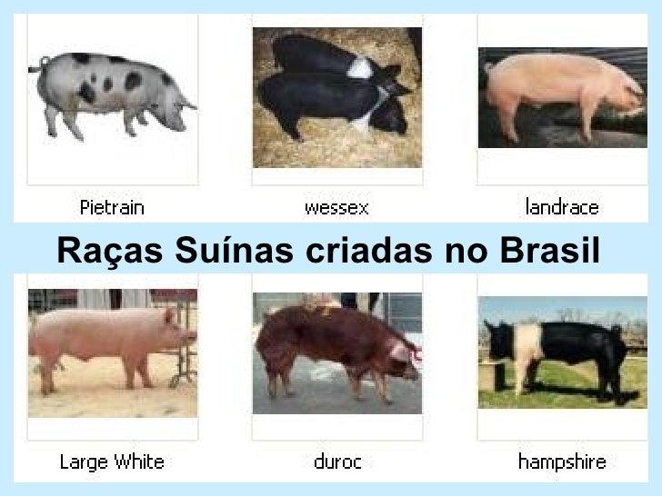 Raças Suínas criadas no Brasil