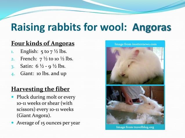 Raising rabbits for wool: AngorasFour kinds of Angoras             Image from inotternews.com1.   English: 5 to 7 ½ lbs.2....