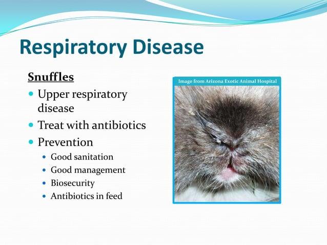 Respiratory DiseaseSnuffles                   Image from Arizona Exotic Animal Hospital Upper respiratory  disease Treat...