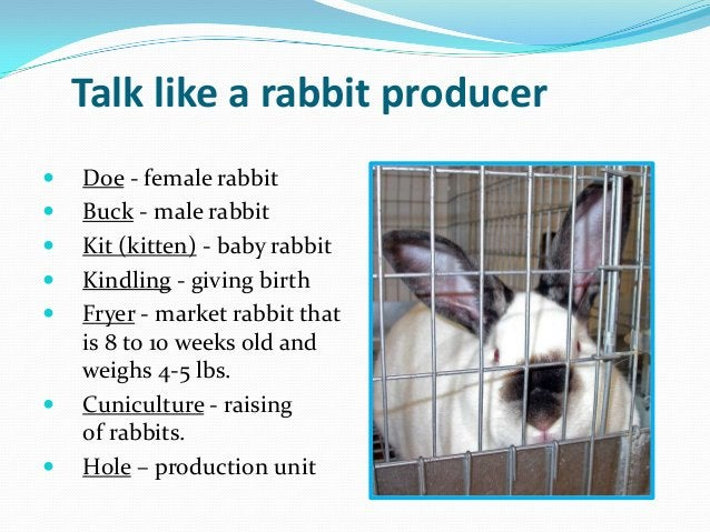 Talk like a rabbit producer   Doe - female rabbit   Buck - male rabbit   Kit (kitten) - baby rabbit   Kindling - givin...