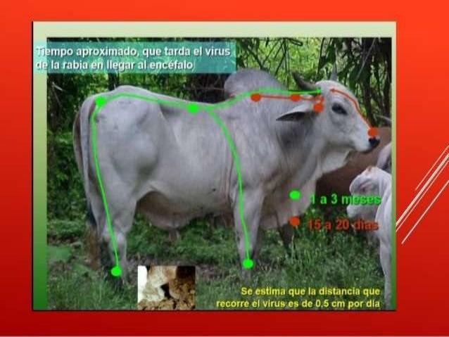 Rabia en bovinos Slide 2