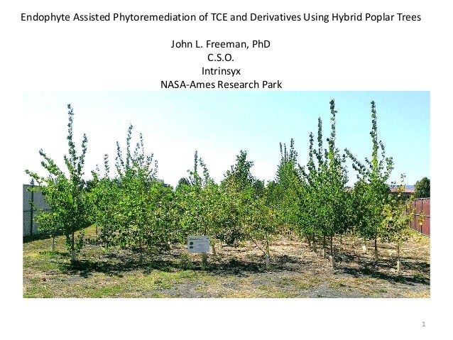 Endophyte Assisted Phytoremediation of TCE and Derivatives Using Hybrid Poplar Trees John L. Freeman, PhD C.S.O. Intrinsyx...