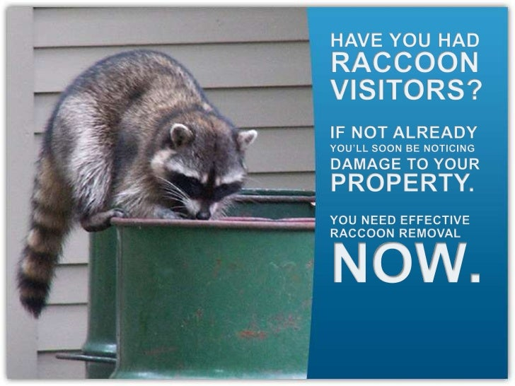 HAVE YOU HAD<br />RACCOON<br />VISITORS?<br />IF NOT ALREADY<br />YOU'LL SOON BE NOTICING<br />DAMAGE TO YOUR<br />PROPERT...