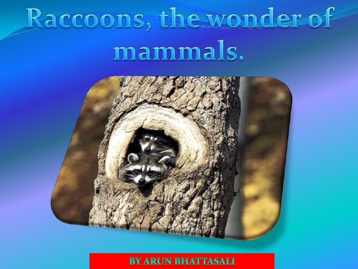 Raccoons 1) Racco0ns are intelligent mammals and have great    abilities to climb and swim.  2) These species are one-of-a...