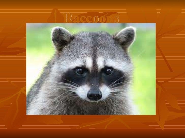 Raccoons corey