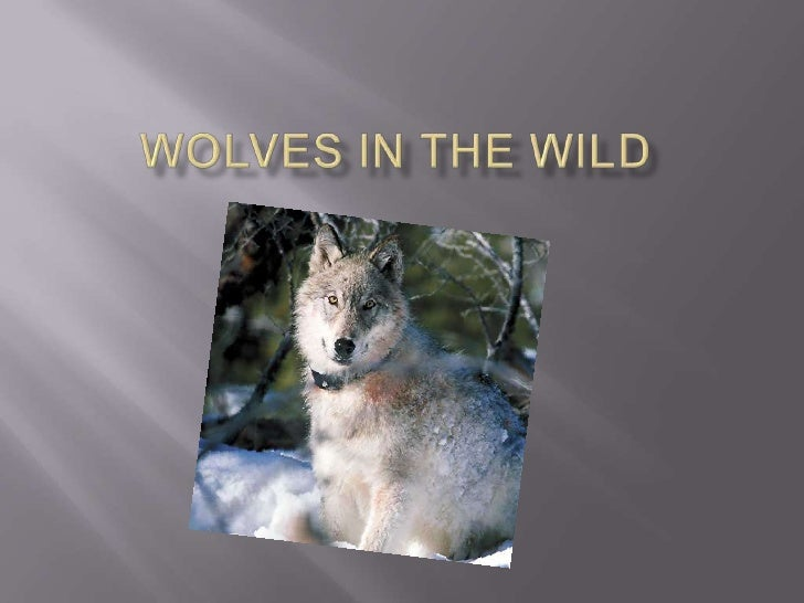 Wolves in the wild  <br />