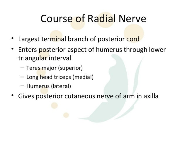 Radial nerve-anatomy