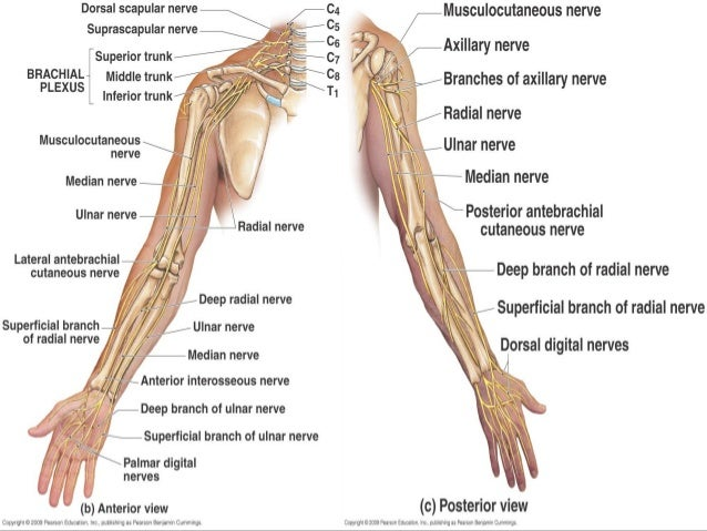 Radial nerve - Course & Relations / Applied Anatomy