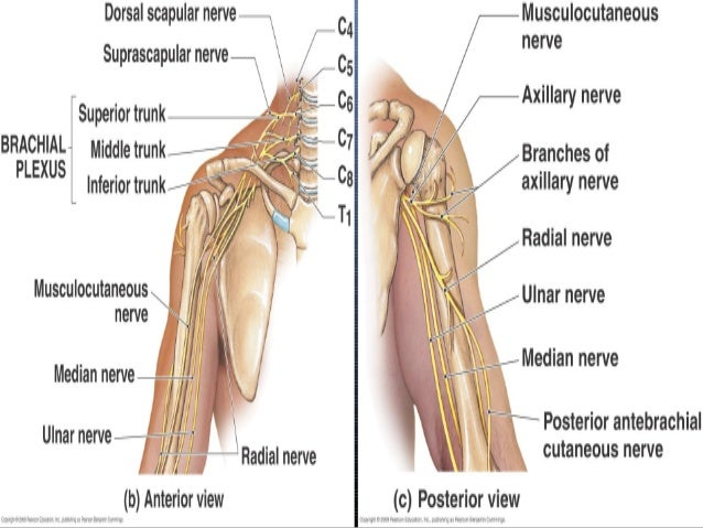 Radial nerve - Course ...