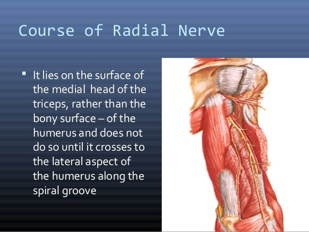 Radial Nerve Course Relations Applied Anatomy