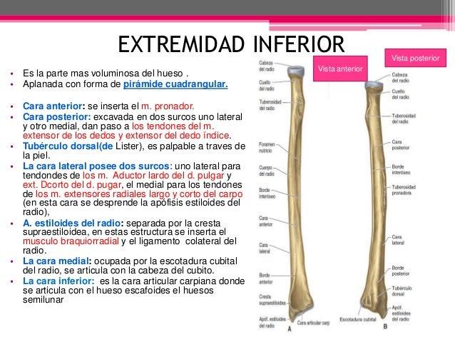 Radio anatomia