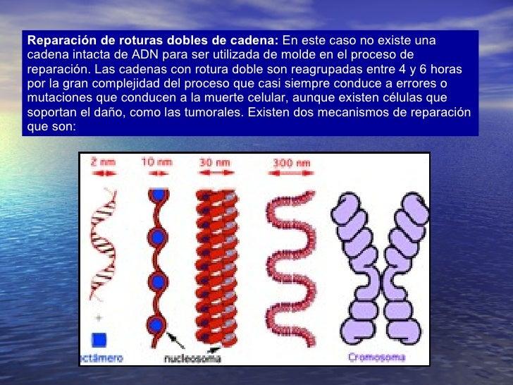Reparación de roturas dobles de cadena:  En este caso no existe una cadena intacta de ADN para ser utilizada de molde en e...