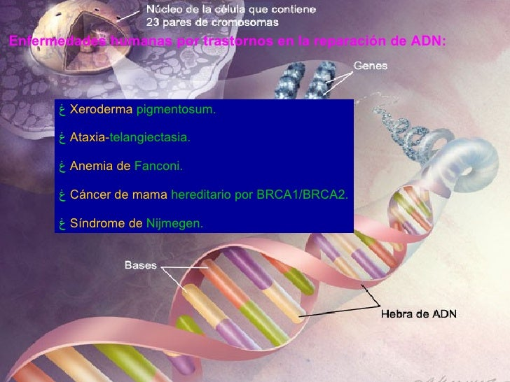 Enfermedades humanas por trastornos en la reparación de ADN:   <ul><li>Xeroderma   pigmentosum .  </li></ul><ul><li>Ataxia...