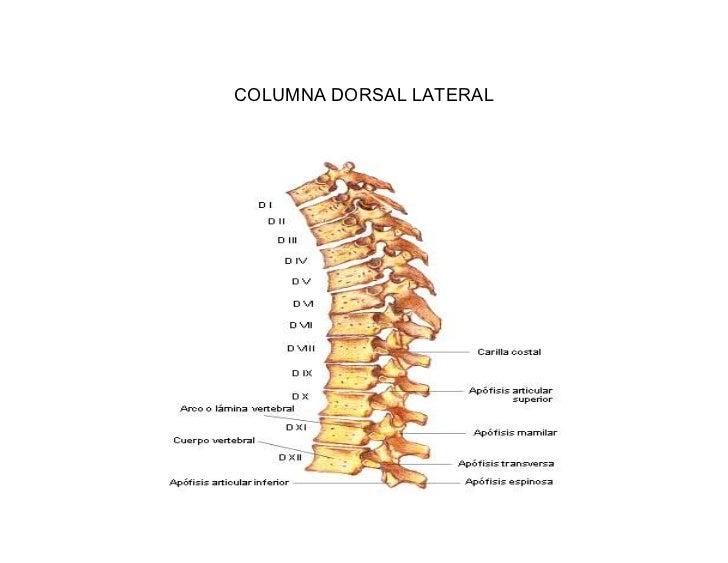 Radiografia Columna Cervical Dorsal