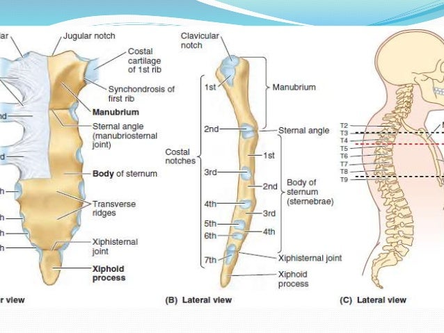 Radiological Anatomy Of Chest Including Lungsmediastinum And Thoraci