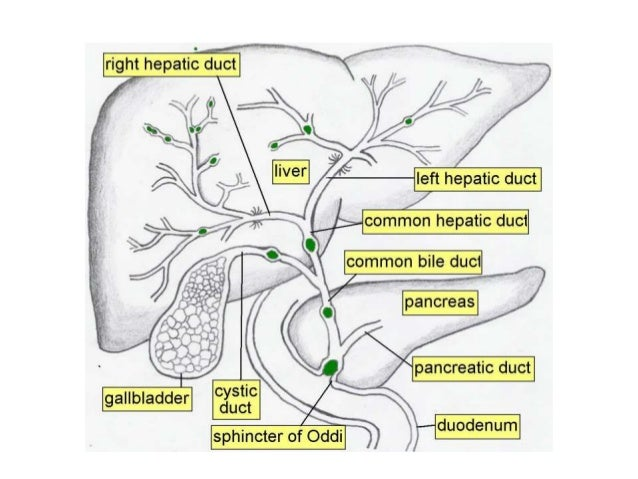 Radiological Anatomy Of Hepatobiliary System