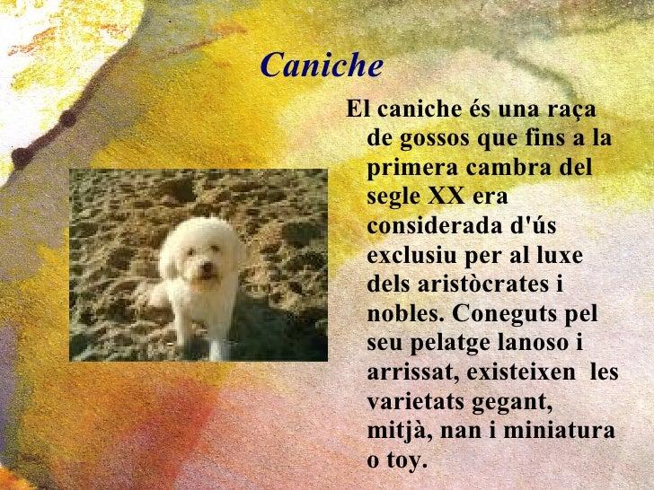 Caniche <ul><li>El caniche és una raça de gossos que fins a la primera cambra del segle XX era considerada d'ús exclusiu p...