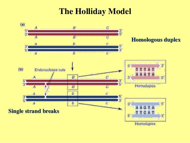 Homologous recombination hr the holliday model homologous duplex single strand breaks ccuart Gallery