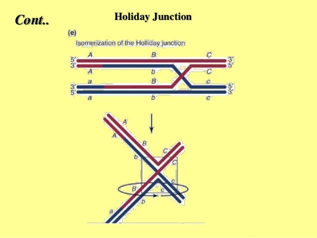 Homologous recombination hr holiday junction 19 ccuart Images