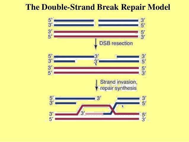 Homologous recombination hr the double strand break repair model ccuart Images
