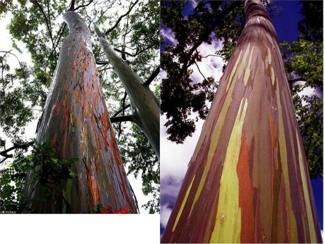 Rainbow eucalyptus Slide 3