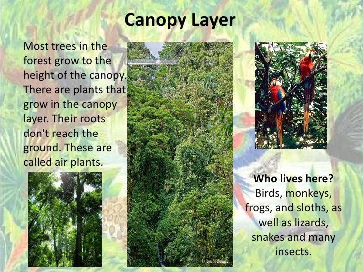 Canopy Layeru003cbr ... & Rainforest Ppp