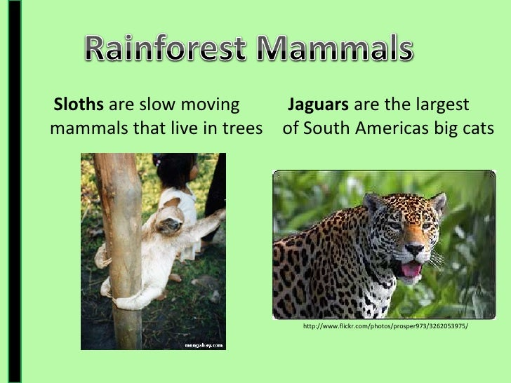 ... 8. The Canopy Layeru003cbr ...  sc 1 st  SlideShare & Rainforest Presentation