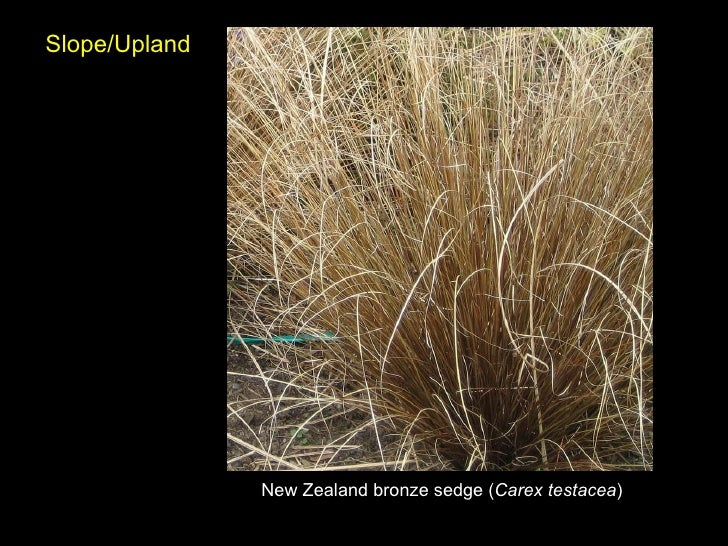 New Zealand Bronze Sedge ( Carex Testacea ) Slope/Upland .